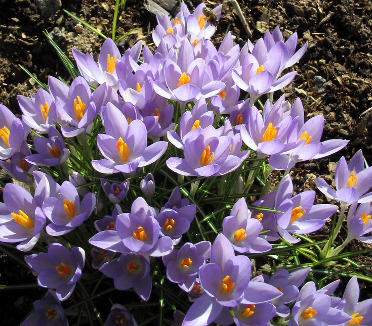 Crocuses at Whitehouse