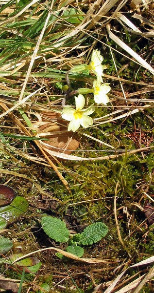 First Primroses at Whitehouse